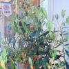 店先のオリーブの木が、超元気な季節に!